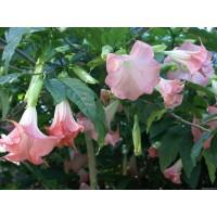 Бругмансия розовая, обильноцветущая