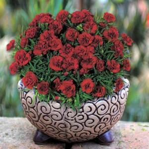 Гвоздика бордовая Roselly Red
