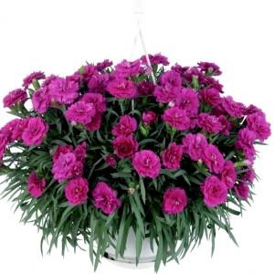 Гвоздика фиолетовая Roselly
