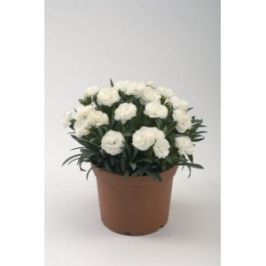Гвоздика белая Roselly White