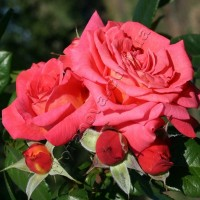 Роза   Shogun