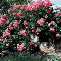 Роза Lawinia