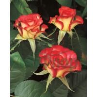 Роза ADVENIRE