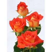 Роза  verano
