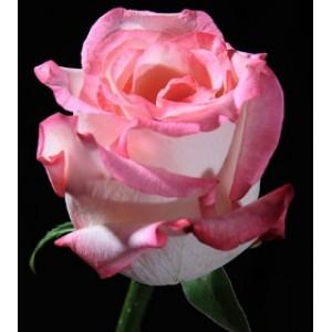 Роза Hirghlande