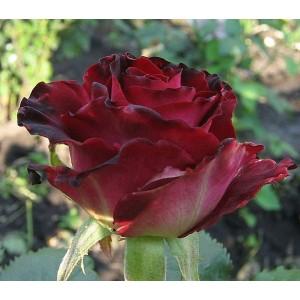 Роза  Gospel