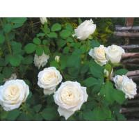 Роза Anastasia