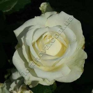 Роза Maroussia