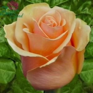 Роза primadonna