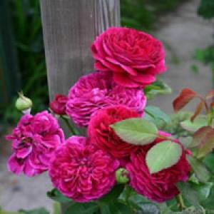 Роза Остина Falstaff