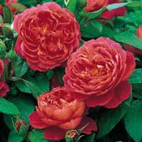 Роза Остина Benjamin Britten