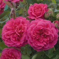 Роза Остина  Sir John Betjeman