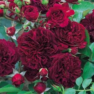 Роза Остина   Tradescant