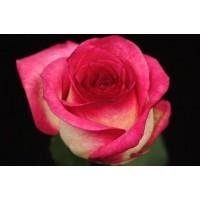 Роза  Queen Amazone