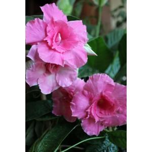 Дипладения  mandevilla Pink Parfait