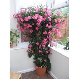 Дипладения sundaville Rose