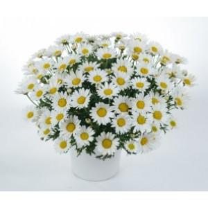 Аргирантемум  Argyranthemum