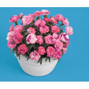 Гвоздика Roselly Pink