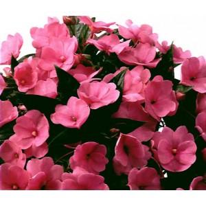 Бальзамин Divine Pink