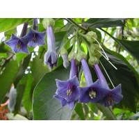 Иохрома grandiflora