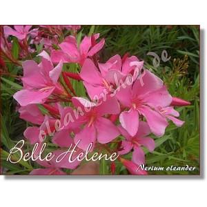 Олеандр Belle Helene