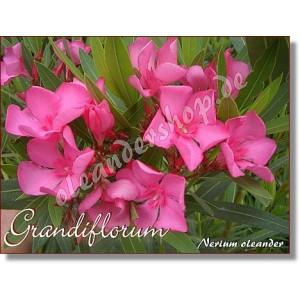 Олеандр Grandiflorum