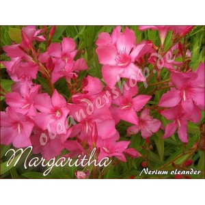 Олеандр  Margaritha