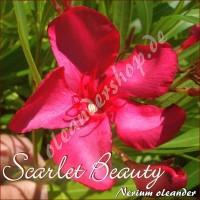 Олеандр Scarlet Beauty