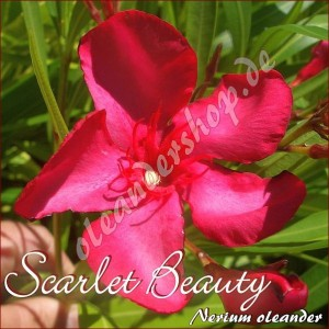 Олеандр Scarlet Beauty