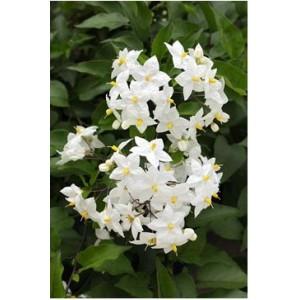 Паслен жасминовидный  Solanum jasminoides