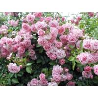 Роза Giardina