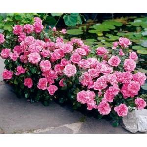 Роза limes-perle