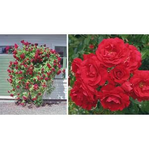 Роза  Tradition 95