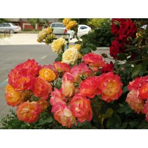 Роза  Decor Arlequin