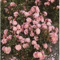Роза Satina