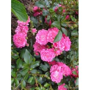Роза Lovely Fairy