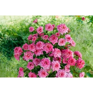 Роза limesstern