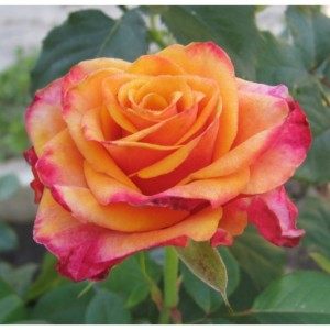 Роза  Нью-фейс