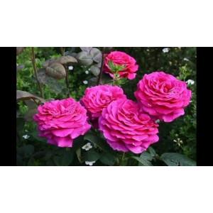 Роза  Big Purple