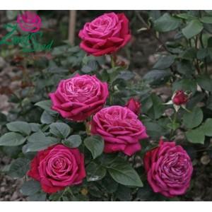 Роза  Duftrausch