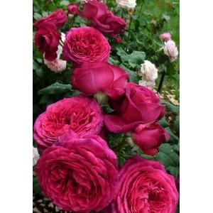 Роза  Goethe Rose