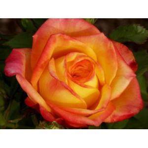 Роза magma