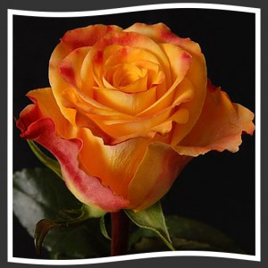 Роза marie claire