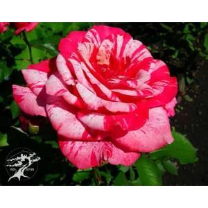 Роза  santini