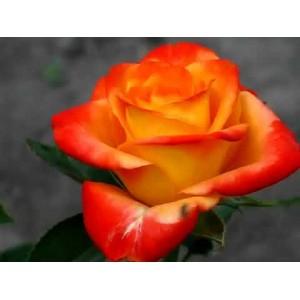 Роза Vudu
