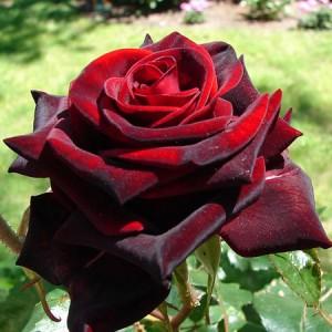 Роза  Black Magic