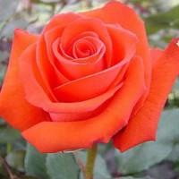 Роза  corvette