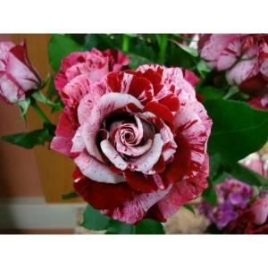 Роза Crazy One