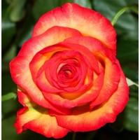 Роза  frendli