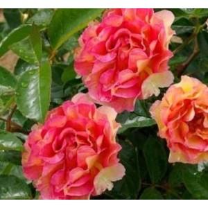 Роза  La Parisienne